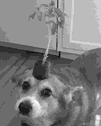 Load a good boi JPG from Imgur, flip it horizontally, convert to grayscale and change JPG output quality to 5%